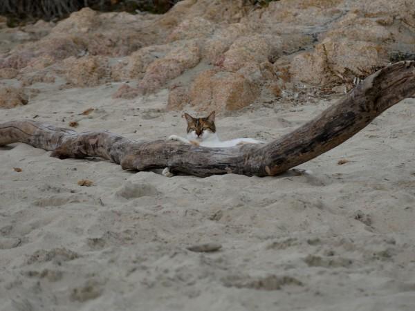 chat sur une plage d'Ajaccio