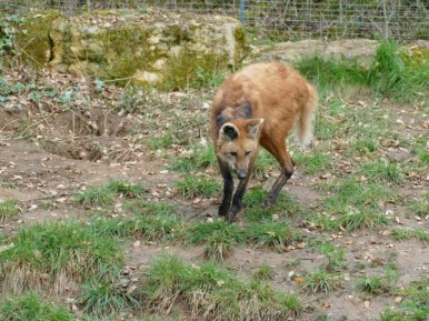 le loup à crinière pistant les fraises !