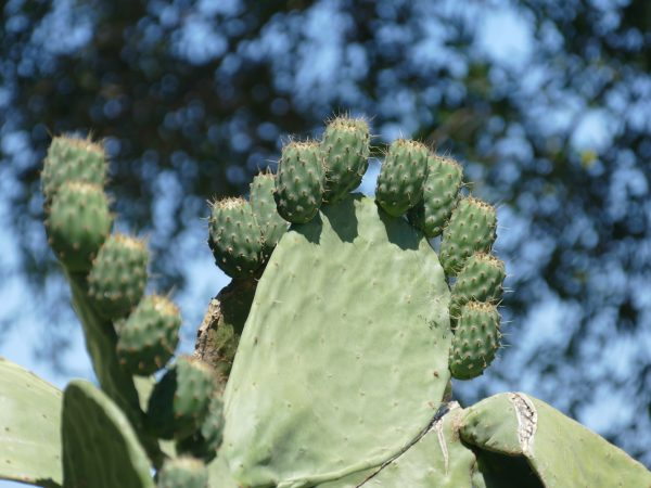Cactus à la Sardaigne - plage de Pittulongu