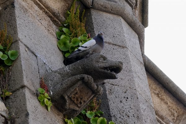 pigeons sur gargouille