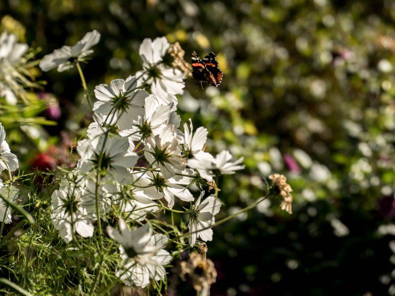 fleurs blanches et papillon dans les jardins de Claude Monet - Giverny