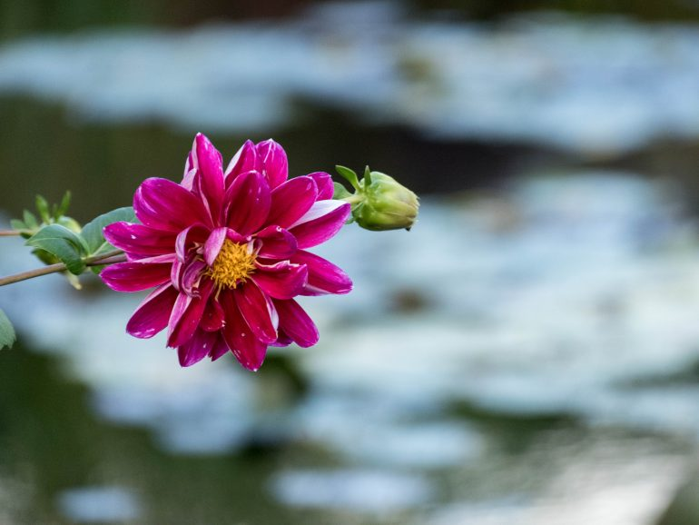 fleur rose - jardin de Giverny