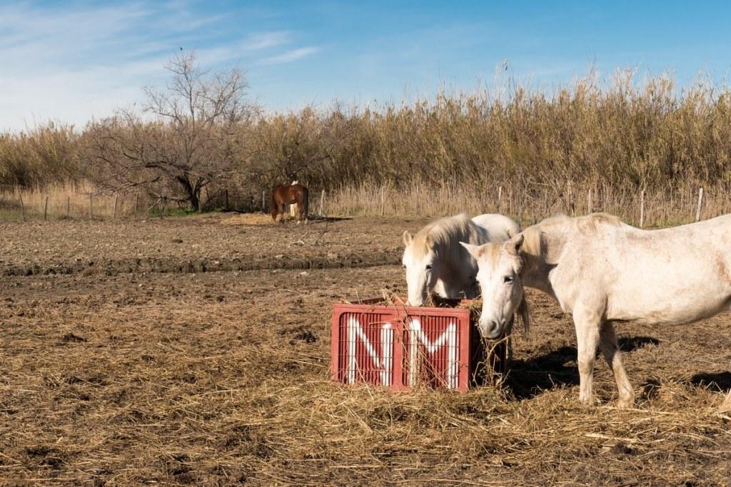 chevaux sur le domaine du grand castelou- narbonne