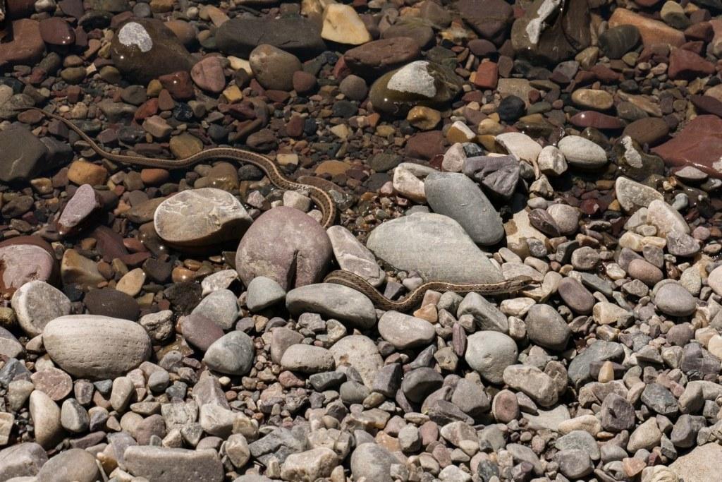 serpent au bord de la snake river - grand téton