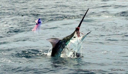 Small marlin abound in the archipelego this time of year, but the big ones have started showing themselves