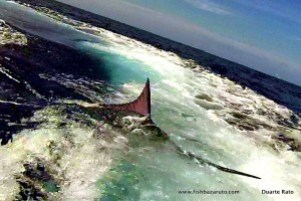Big Marlin on the leader eating the paint work of the transom!!!