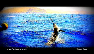 A blue marlin on a Stella - tagged and released by Captain Duarte Rato and crew