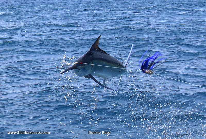 Bazaruto Black and Blue Marlin: Coming all the way from Australia Craig managed to get his first two billfish ever including a Black and Blue Marlin as well as some big wahoo and other game fish on his short trip to Bazaruto.