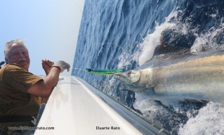 The numbers of small Black Marlin have been exceptionally high since early August all the way to mid-September. The big girls should start showing up anytime now!