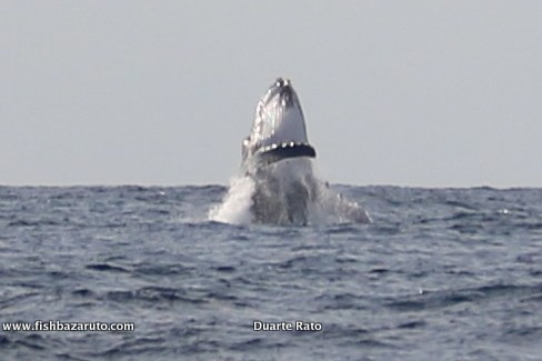 Humpback Whales can be spotted all through winter time in the waters around Vilanculos. Vila do Paraiso can get you out there and right in it .