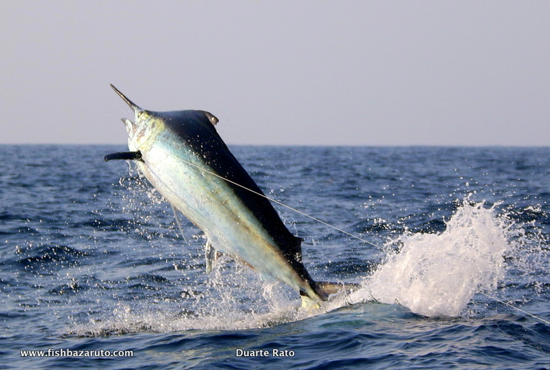 Ryan Chalmers' biggest marlin taken by Vamizi off Bazaruto captained by Duarte Rato