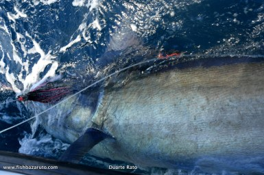 This 550-pound Black was the biggest Marlin release from the 6 Marlin, Ian and Brian from New Zealand, got on their second trip to Bazaruto aboardVAMIZI.