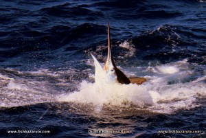 This nice 400 pound black Marlin release before7amon a live bonito