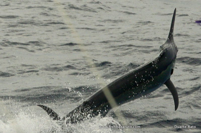 Unseasonal overcast and windy conditions persisted for the all week. This small Black Marlin release was released by Brian Rhodes aboardVAMIZI