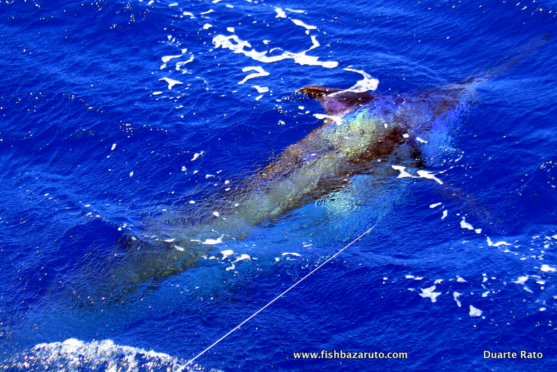 The Mozambique Blue Marlin fishery is only just being discovered really.