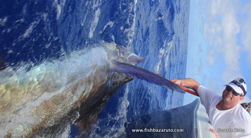 Marlin identification by pectorals. This one is a blue marlin.