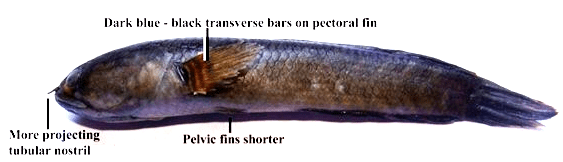 Channa gachua: Lateral view. Showing banded flanks and pectoral fins, more pronounced tubular nostril and shorter pelvic fins.