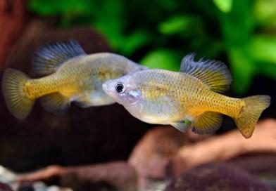 一群不需要加溫的小型觀賞魚:谷鱂科胎生鱂