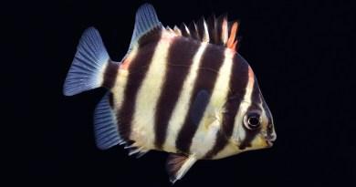又會吃大便還會吃絲藻的金錢魚