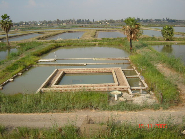 Gravel filter in earthen fish pond egypt fish for Fish pond construction and design