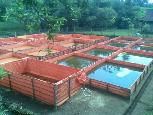 A group of small fish breeding ponds tanks in indonesia for Breeding pond fish