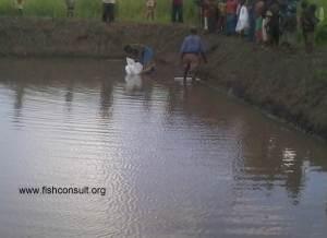 Stocking of a comunal fish pond (Malawi) 02