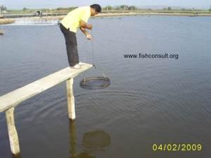 Culture of whiteleg Shrimp in Thailand (01)