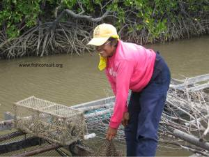 Cage culture of Asian seabass in Thailand (01)