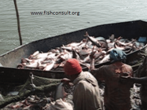 Harvest of catfish (Pangasius) in India