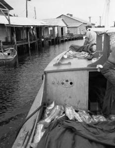 Fishing boat filled with snook (1949)