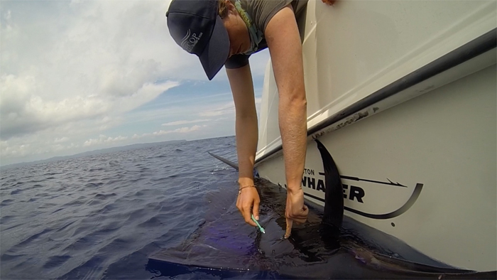 Costa Rica Sailfish Tagging