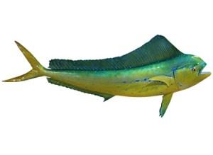 Female Dorado