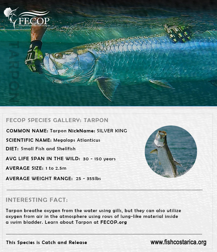 Costa Rica Fishing Species - Tarpon aka