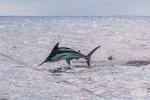 Marlin in Costa Rica