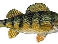 perchfish