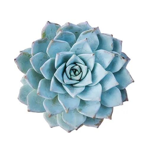 Blue succulent plant