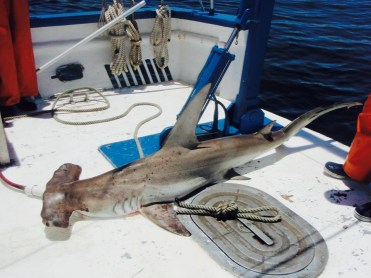 A Great Hammerhead Shark Sphyrna mokarran captured by longlining. Photo Credit: GCRL.