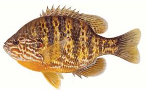 Pumpkinseed Sunfish Lepomis gibbosus. Art credit: Maynard Reece.