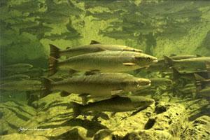 atlanticsalmon300x200 (1).credit.www.greateratlantic.fisheries.noaa.gov