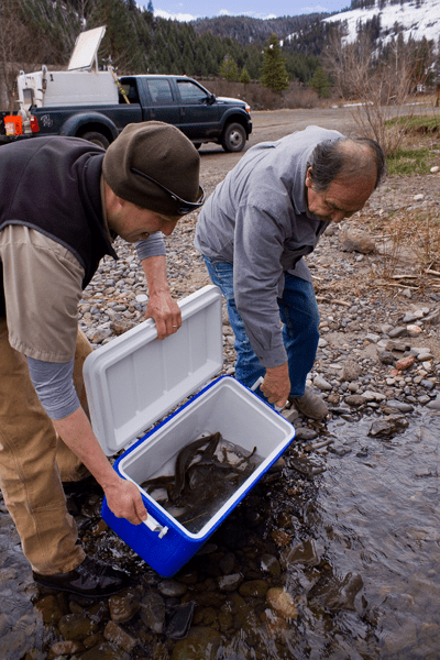 The late Elmer Crow of the Nez Perce tribe and Jeff Yanke, Oregon Department of Fish and Wildlife, release Pacific Lampreys in the Imnaha River, Oregon. Credit: U.S. Fish and Wildlife Service