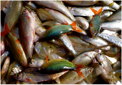 The Mekong is home to almost 1,000 fish species. Credit: Thomas Pool