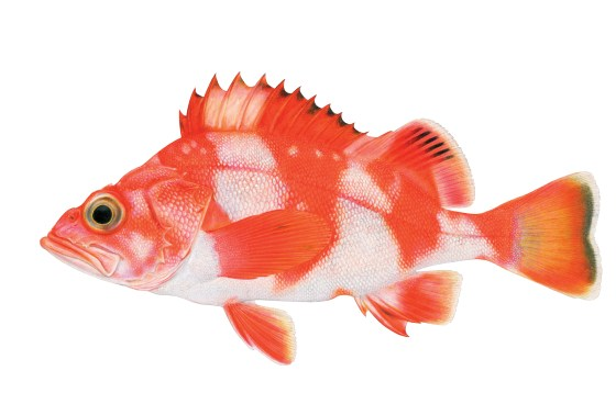 Redbanded Rockfish. Illustration by Joseph Tomelleri