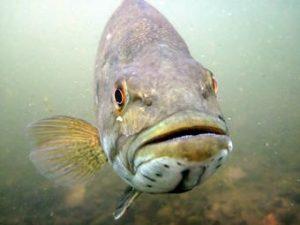 Smallmouth Bass. Courtesy, Gretchen Hansen, Minnesota Department of Natural Resources.