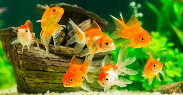 Various Type Of Ornamental Fish You Need To Consider Raising Best Selling 1 Fish Farm Tank