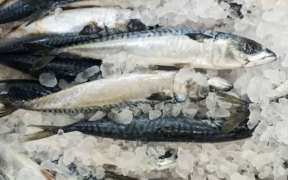 SCOTS MACKEREL FISHERS WELCOME ICES REPORT