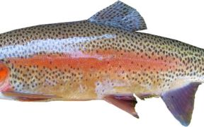 ASC CERTIFIED RAINBOW TROUT OIL