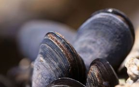 NZ FOOD BODY GIVES MUSSEL ADVICE