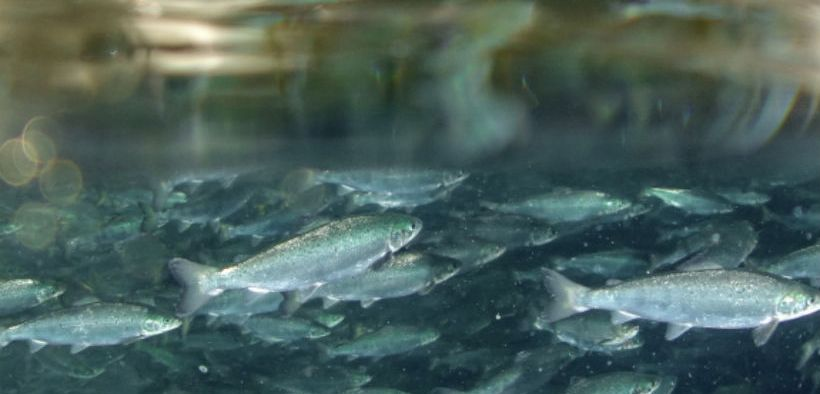 HATCHERY SALMON SUCCESS