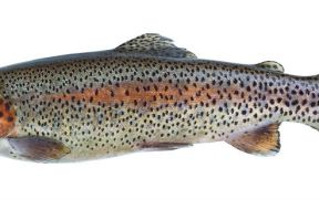 STEELHEAD TROUT MARKETING PARTNERSHIP