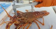CRAWFISH RESEARCH PROGRAMME